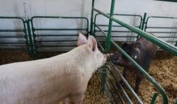 Proizvodjači svinja u Srbiji: Pandemija kovid 19 i pad cena smanjili broj za oko 1,5 miliona komada