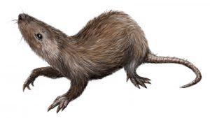 """Pronađena """"karika koja nedostaje"""" u evoluciji ušiju sisara"""