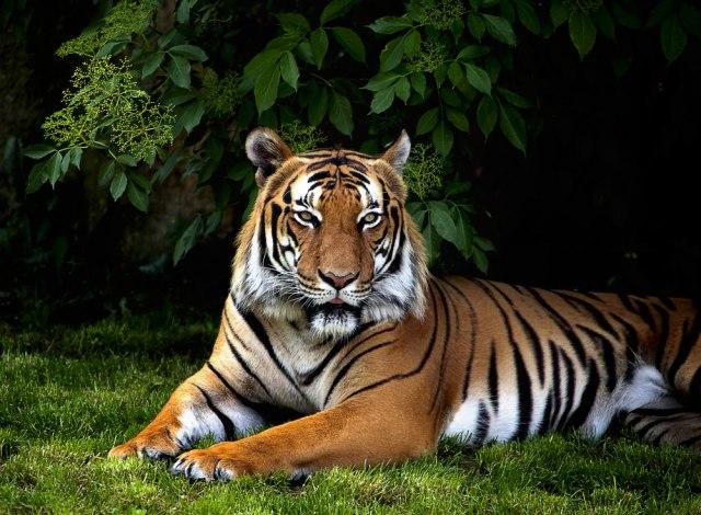 Prvi tigar u svetu zaražen koronavirusom