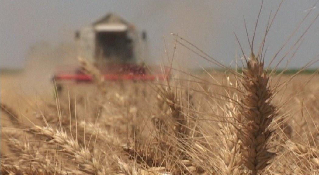 Pšenice petina manje nego lane