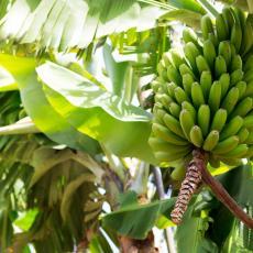 Rajsko ostrvo na Karibima ZATROVANO OTROVIMA! Hemikalija koja IZAZIVA KANCER decenijama korišćena za UZGOJ BANANA