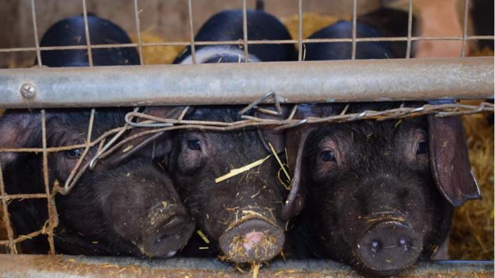 Rast cena svinjetine u Kini zbog afričke kuge