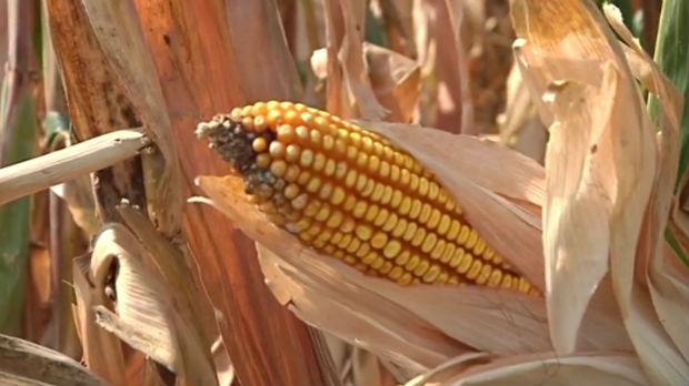 Ratari u južnom Banatu nezadovoljni cenom kukuruza