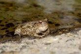 Razotkrivanje mitova: Da li žaba krastača zaista izaziva kraste?
