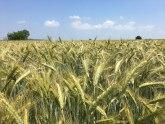 Republičke robne rezerve kupovale pšenicu na Produktnoj berzi po 20 din/kg
