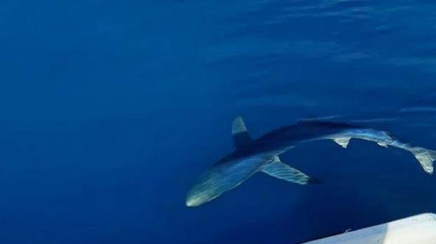 Ribari kod Reževića uočili plavu ajkulu od tri metra