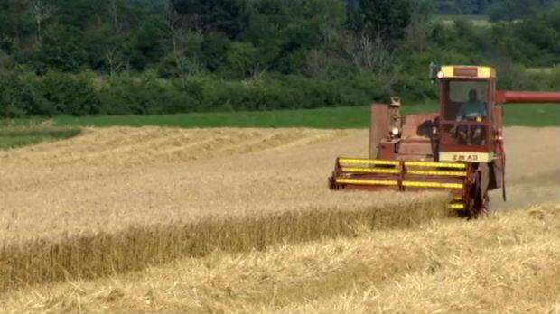 Rod pšenice manji za petinu