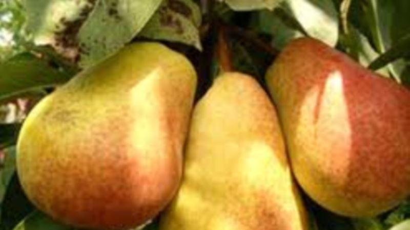 Rusija: Od sutra na snazi zabrana uvoza krušaka iz Srbije