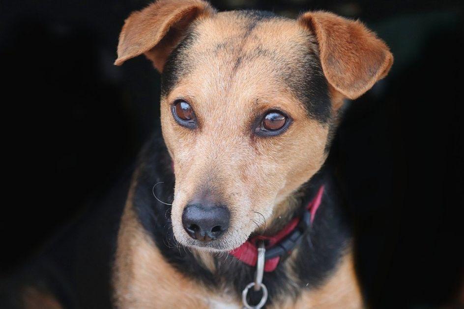 Rusija trenira pse koji mogu da nanjuše koronu