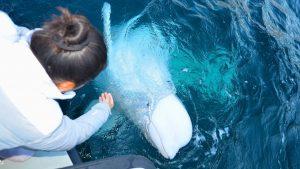 Rusija, životinje i špijunaža: Hvaldimir – traženje utočišta za kita proglašenog ruskim špijunom