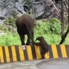 SLATKOĆA, NIVO MILION! Pogledajte kako slonica pomaže slončetu da preskoči ogradu! (VIDEO)