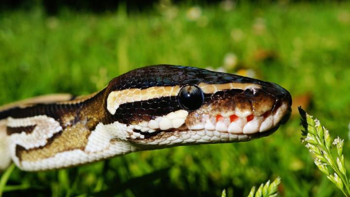SZO: Prva globalna strategija za rešavanje ujeda zmija