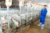 Sajam svinjarstva protiče bez svinja zbog afričke kuge