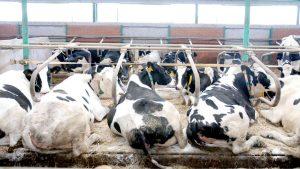 Samostalni sindikat poljoprivrede Srbije: Država nije obavezala Al Dahru da ne smanjuje broj krava