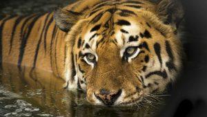 Šest lavova i tri tigra u zoo vrtu u Vašingtonu pozitivna na kovid-19