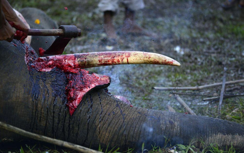 Singapur: Zaplenjena rekordna količina slonovače