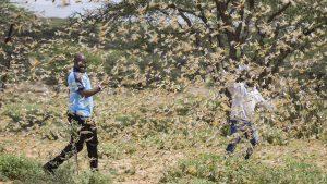 Skakavci, korona virus i poplave ugrožavaju Istočnu Afriku