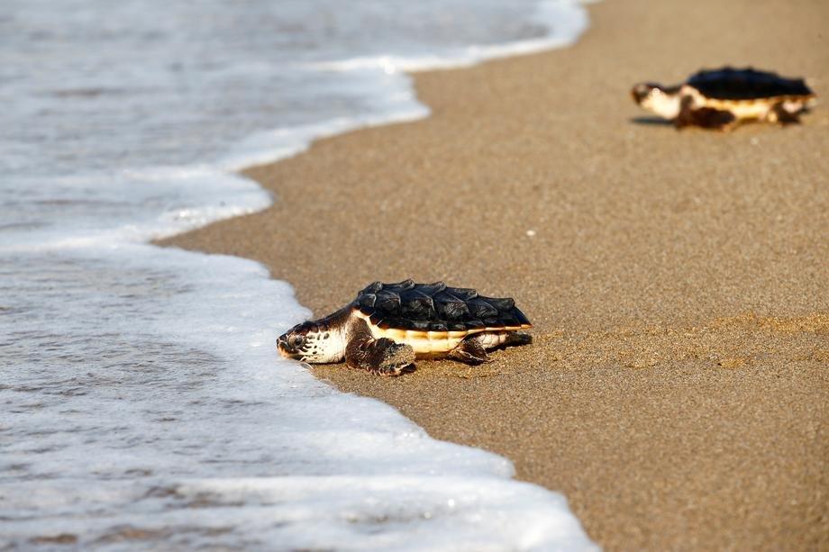Skoro stotinu mrtvih kornjača na obalama Šri Lanke