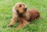 Slab apetit može biti znak bolesti ovog organa kod određenih rasa pasa