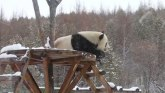 Sneg oduševio pandu