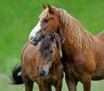 Španijom se širi konjski herpes