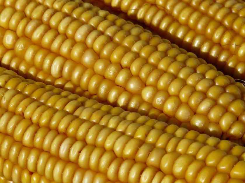 Srbija: Poljoprivrednici se žale na nisku otkupnu cijenu kukuruza