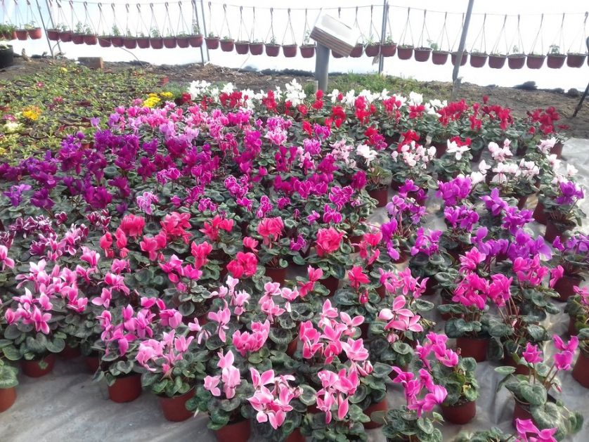 Srbija zaradila 4,2 miliona evra od izvoza cveća