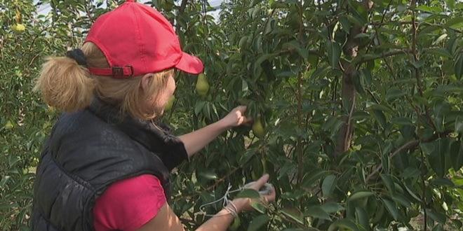 Sremska Mitrovica prednjači u reformama angažovanja sezonskih radnika