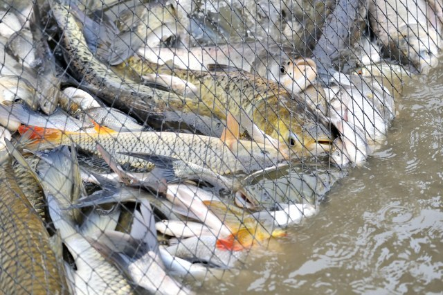 Šta će biti sa viškom ribe?