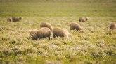 Stado od 20 ovaca stradalo u udaru groma