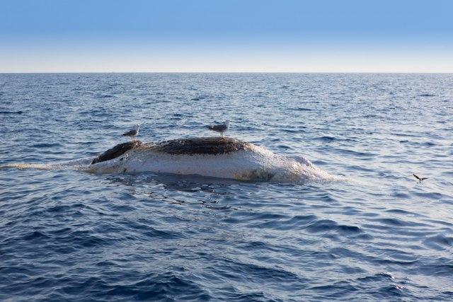 Strahovi ipak opravdani: Skoro 500 kitova se nasukalo, polovina uginula VIDEO