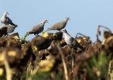Suncokret u ambarima, biće uvoza i soje