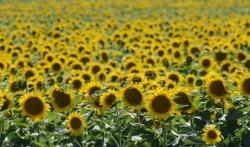 Sutra pretežno sunčano, temperatura do 36