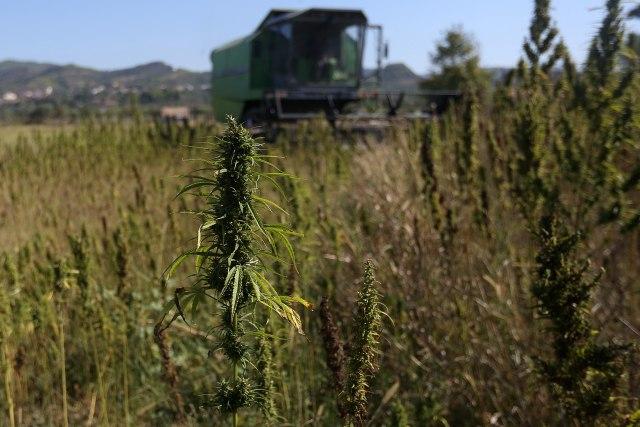 Sve više konoplje na srpskim njivama: Zarada tri puta veća od kukuruza