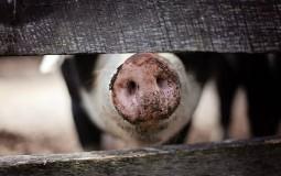 Svinjska kuga registrovana u farmama kod Pekinga