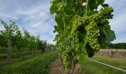 Svislajon preuzeo Vršačke vinograde
