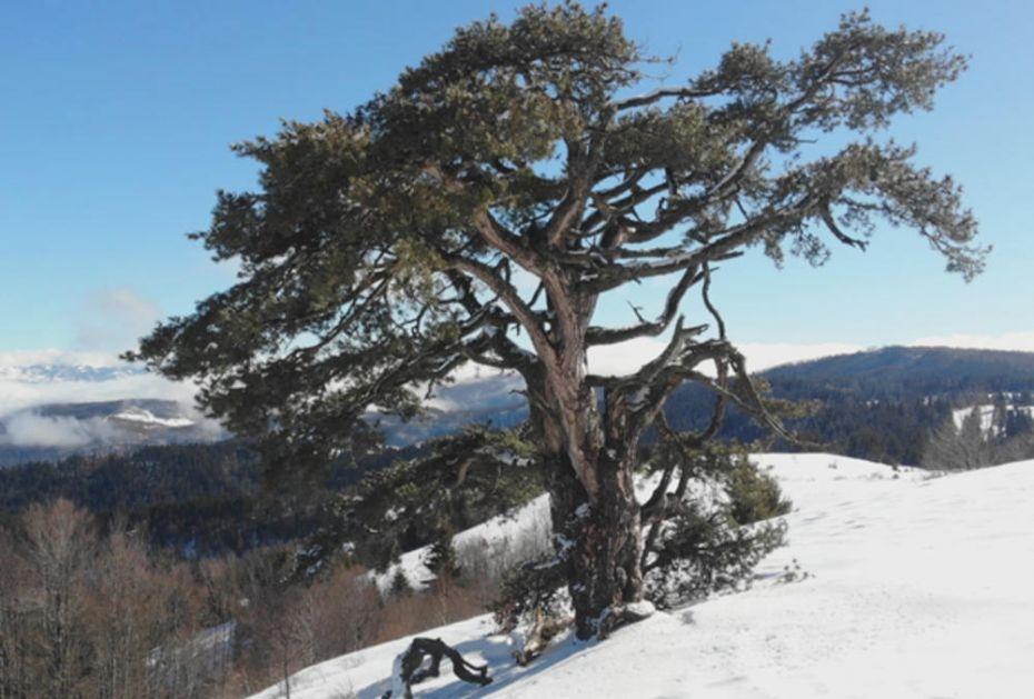 TAJNA SAMONIKLOG BORA: Čudo prirode staro više od 500 godina dolaze da ga vide čak i iz Amerike!