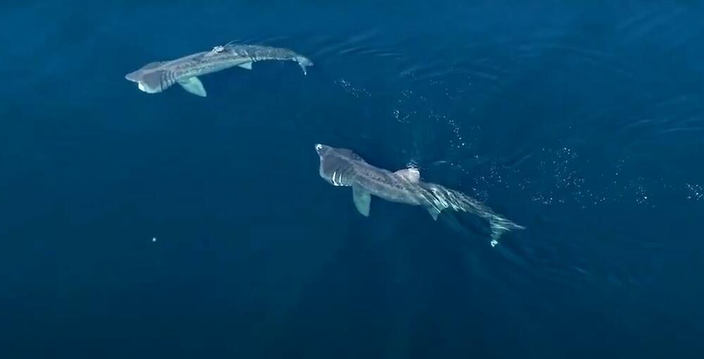 TAJNI ŽIVOT AJKULA: Naučnici prvi put snimili udvaranje ajkula koje uključuje sinhronizovano plivanje i iskakanje iz vode VIDEO