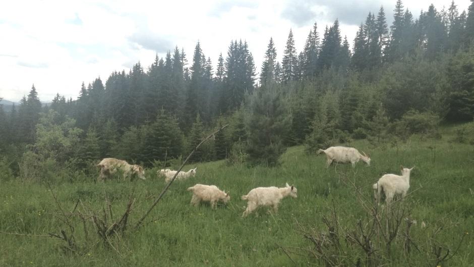 TO SU MONSTRUMI: Koze premeštene, obrstiše planinu