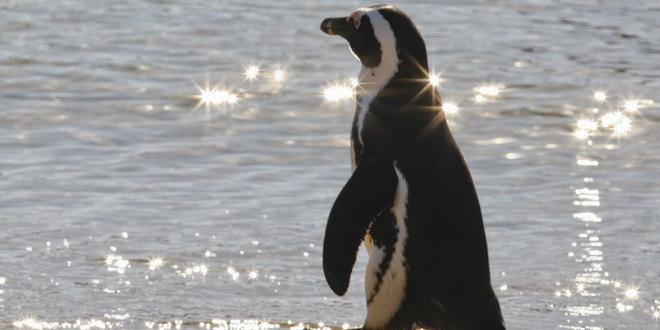 Tasmanijski đavoli istrebili male pingvine sa ostrva Marija