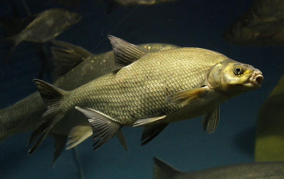 Tri četvrtine ribe iz Nila ima u sebi mikroplastiku