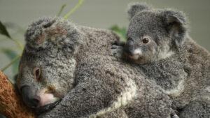 U Australiji za tri godine nestala gotovo trećina populacije koala