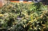 U Beogradu otkrivena laboratorija marihuane, osumnjičeni gajio čak 70 stabala FOTO