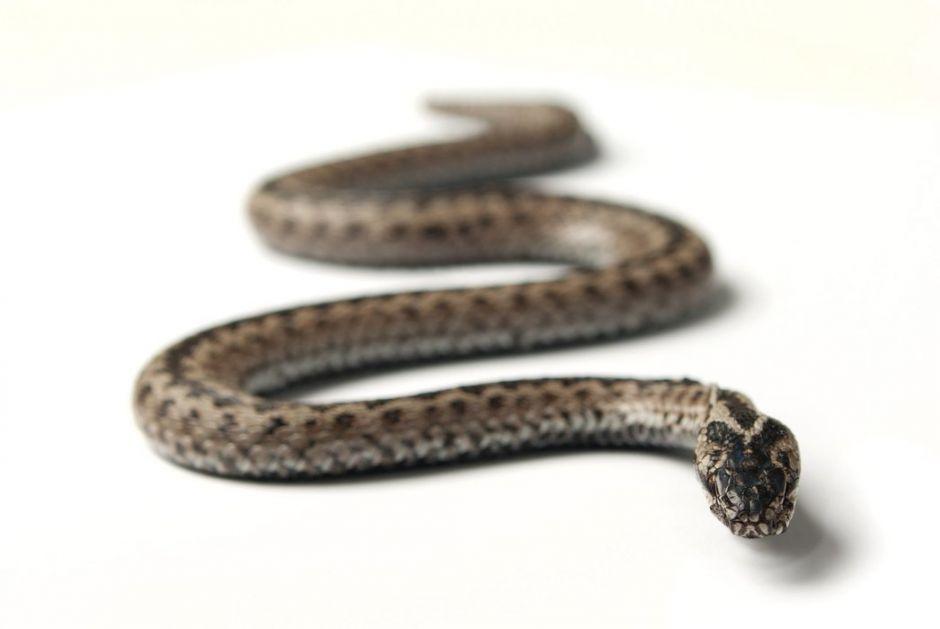 U Bileći pronađen fosil zmije stare više desetina miliona godina