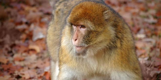 U Indiji majmuni oteli uzorke krvi zaraženih korona virusom