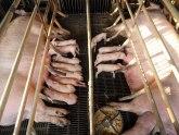 U Japanu zbog svinjske kuge usmrćene 753 svinje