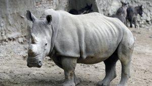 U Južnoj Africi ove godine povećan broj ubijenih nosoroga