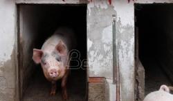 U Kini kod svinja otkriven novi virus gripa - moguća nova pandemija
