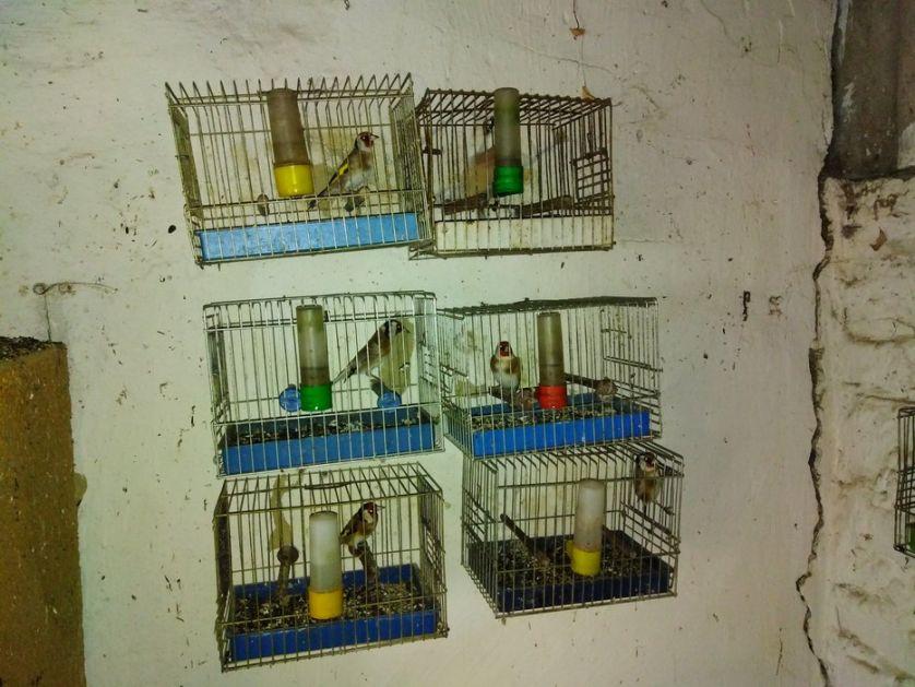 U Subotici oduzete protivzakonito držane ptice pevačice