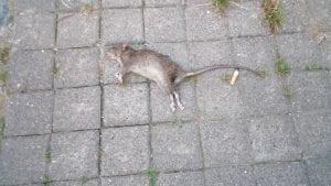 U centru Beograda ceo dan stoji mrtav pacov
